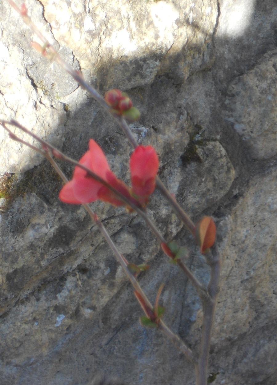 V comme printemps papillons de mots - Pommier du japon toxique ...