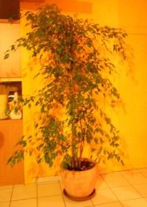 Ficus (2)