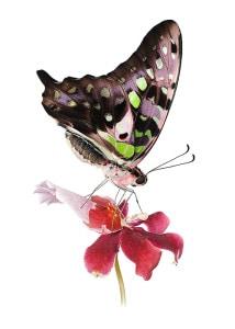 agamemnon-orchidee