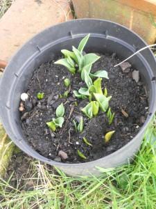 13 Tulipe