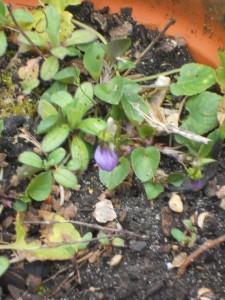 9 violette