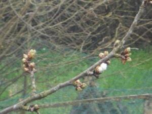 cerisier bourgeon