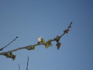 cerisier fleur 2