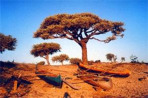 arbre et pirogue