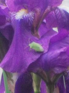 bijou d'iris