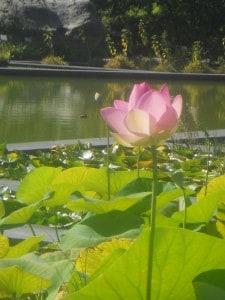 11 Lotus