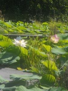 12 Lotus