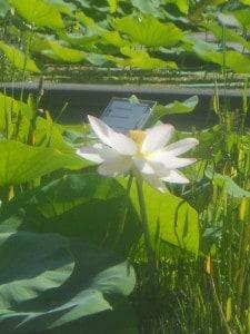 13 Lotus