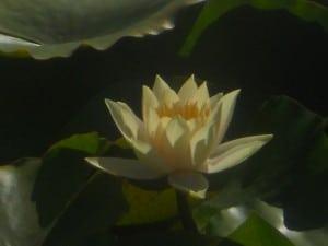 14 Lotus