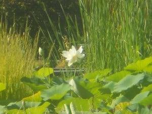17 Lotus