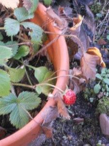 3 fraise