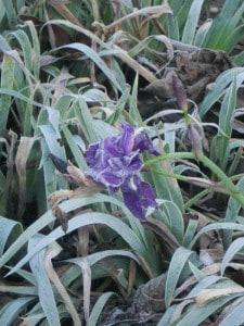 8 iris