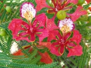 flamboyant fleur